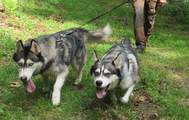 husky-trekking-schmallenberg-hunde
