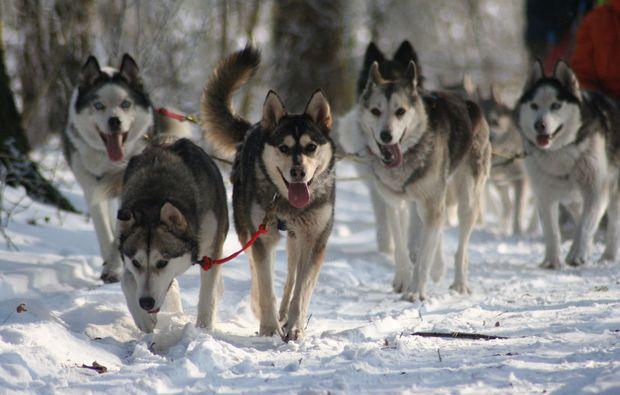 schlittenhundefahrt-twistringen-hunde